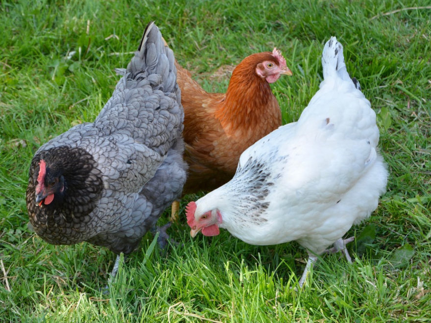 o acheter ses poules sussex ecafe